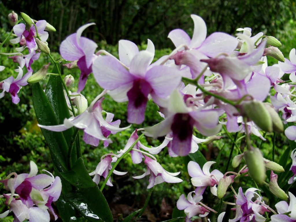 Singapore: ABUNDANCE OF ORCHIDS AND BIRDS (7)