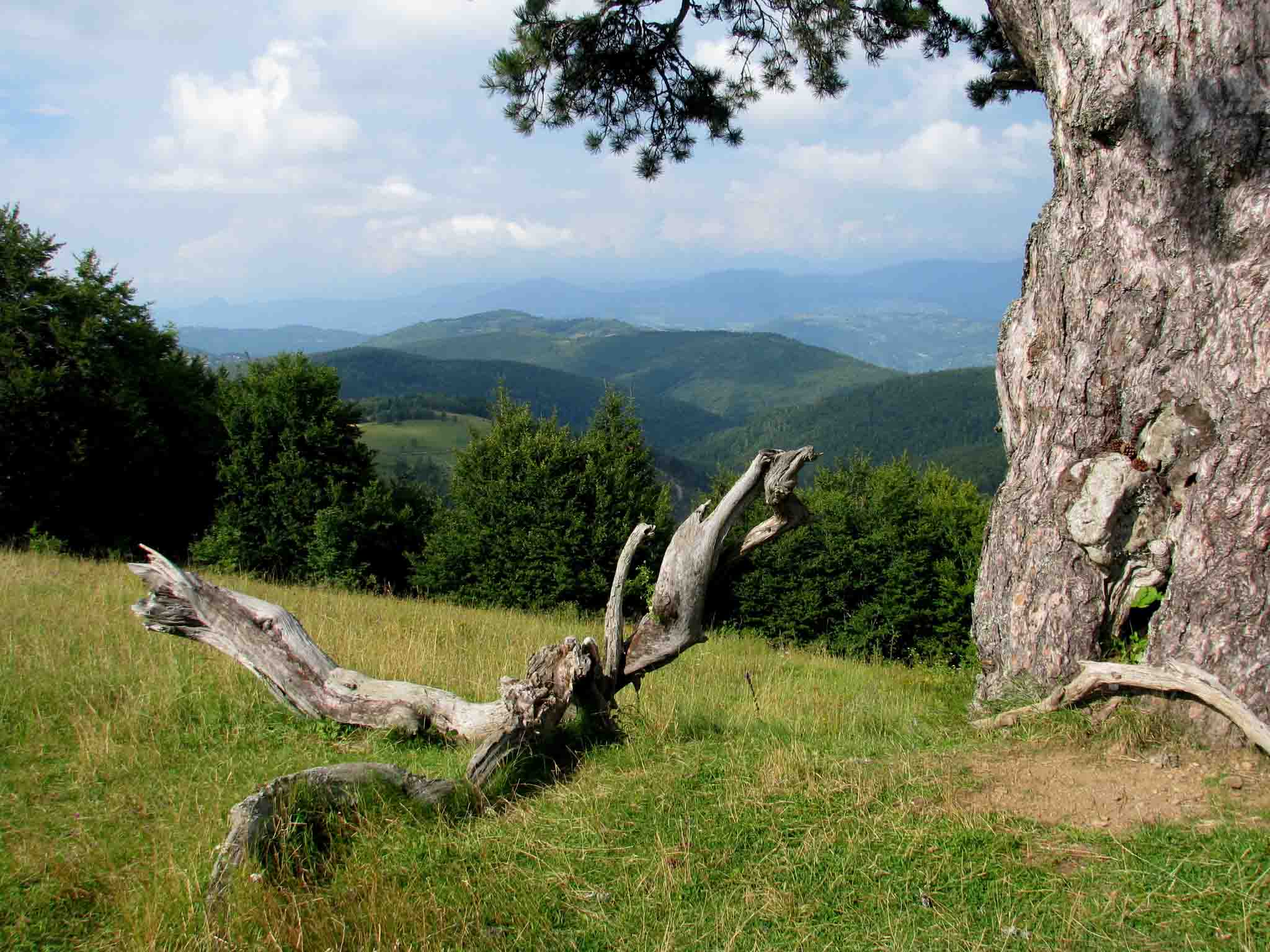 Serbia-travel-Kamena-Gora-pine-tree-branch-Glimpses-of-The-World